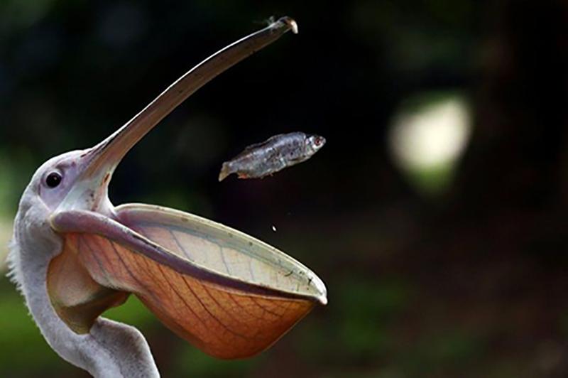 লন্ডনের সেন্ট জেমস পার্কে খাওয়ানোর সময় একটি মাছ ধরে একটি পেলিকান পাখি।